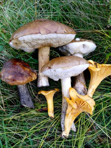 Как мариновать грибы синеножки в домашних условиях