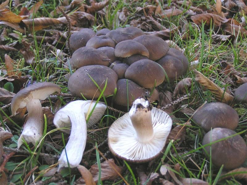 Рядовка желто-красная: описание гриба, места распространения