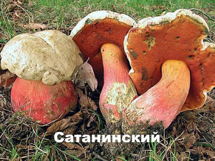 Сатанинский гриб на вкус. Сатанинский гриб. Съедобный или ядовитый? Отличие съедобного от ядовитого гриба сатаны и почему его так называют  Фото