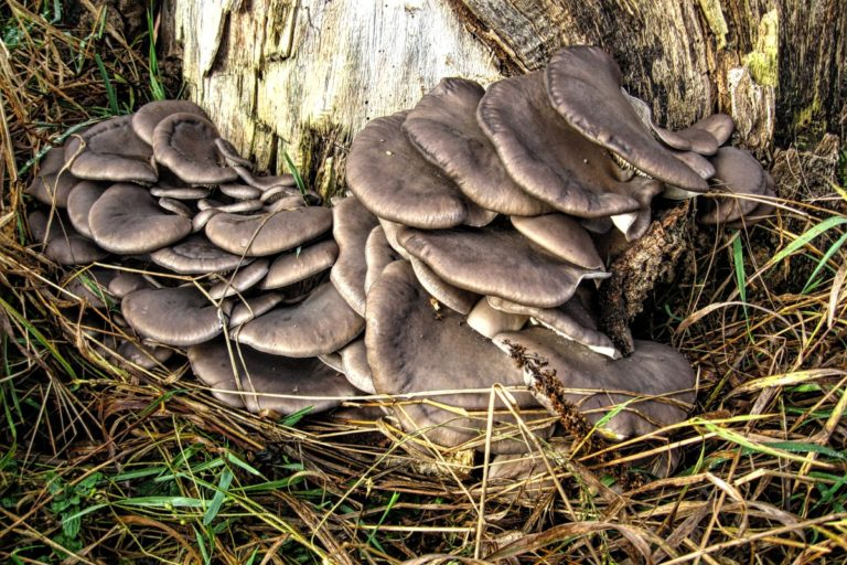 грибы вешенки фото где растут вышли