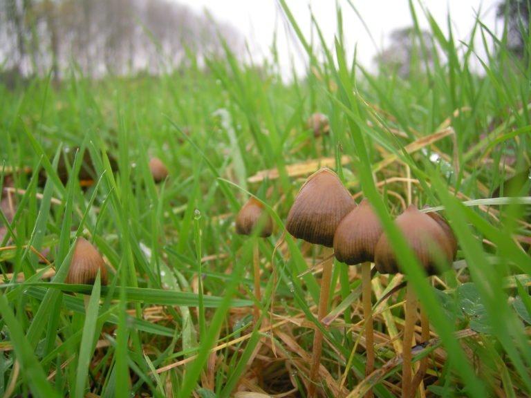 Галлюциногенные грибы псилоцибы фото, последствия употребления