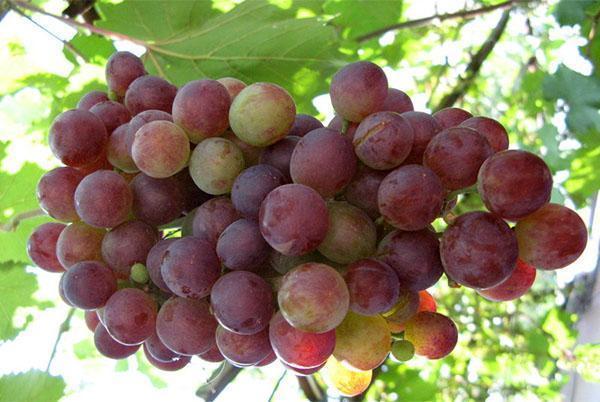 Компот из винограда с яблоками на 3-литровую банку на зиму - простой рецепт в пошаговыми фото
