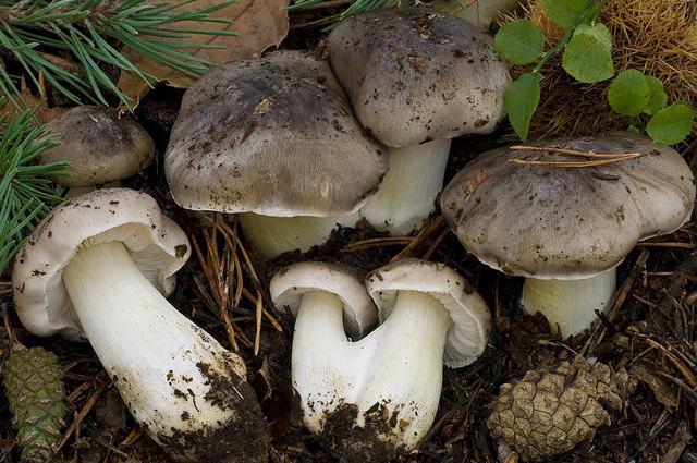 Рядовка на зиму - {сount} заготовок гриба рядовка с пошаговыми фото